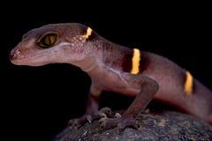 Vietnamese holgekko (Goniurosaurus-lichtenfelderi) royalty-vrije stock foto's