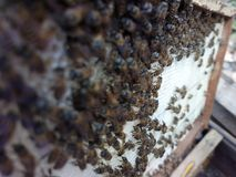Vietnamese honey bees are domestic bees or call Asian bees, and they have a little honey. Vietnamese honey bees domestic call asian have little stock photography