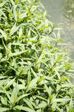 Vietnamese koriander (Persicaria-odorata). Royalty-vrije Stock Fotografie
