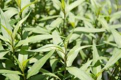 Vietnamese koriander (Persicaria-odorata). Stock Fotografie