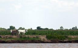 Vietnamese Landbouwer en Koe Stock Foto