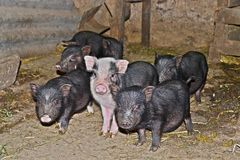 Vietnamese little pigs stock image