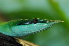 Vietnamese long-nose snake Royalty Free Stock Photo