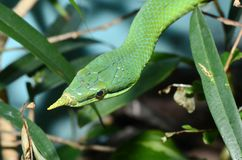 Vietnamese long nose snake2 Royalty Free Stock Photo