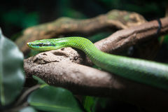Vietnamese long nosed snake Stock Photo