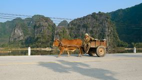 Vietnamese man riding a cart. TAM COC, VIETNAM - DECEMBER 17, 2018: Vietnamese man riding a cart drawn by a cow at scenic view of limestone mountains and rice stock footage