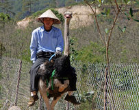 Vietnamese man in traditional straw hat is riding an ostrich Stock Images