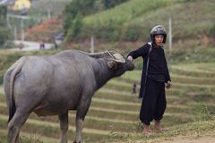 Vietnamese Man with Water Buffalo Stock Photography