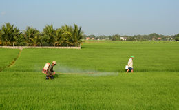 Vietnamese men working on rice field Royalty Free Stock Photography