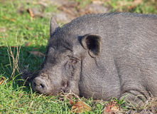 Vietnamese mini pig sleeps Stock Photography