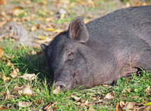 Vietnamese mini pig sleeps Royalty Free Stock Images