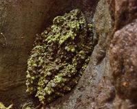 Vietnamese Mossy Frog. On rock Stock Image