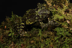 Vietnamese Mossy Frog Stock Photos