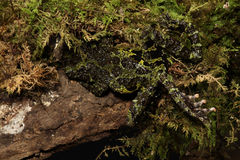 Vietnamese Mossy Frog Stock Photography