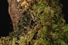 Vietnamese Mossy Frog Royalty Free Stock Photo