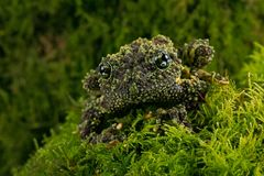Vietnamese Mossy Frog Theloderma corticale. Vietnamese Mossy Frog camouflaged in thick green moss stock photography