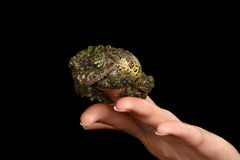 Vietnamese Mossy Frog on Hand, Theloderma corticale, Tonkin Bug-eyed, Isolated Stock Photography