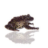 Vietnamese Mossy Frog isolated on white Stock Photography