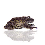 Vietnamese Mossy Frog isolated on white Stock Photo