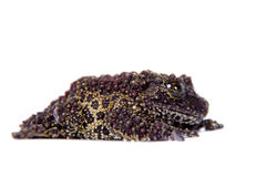 Vietnamese Mossy Frog isolated on white Stock Photos