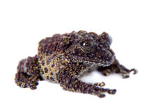 Vietnamese Mossy Frog isolated on white Royalty Free Stock Photo