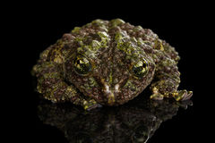 Vietnamese Mossy Frog, Theloderma corticale, Tonkin Bug-eyed Frog, Isolated Black Royalty Free Stock Photography