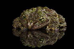 Vietnamese Mossy Frog, Theloderma corticale, Tonkin Bug-eyed Frog, Isolated Black Royalty Free Stock Photos