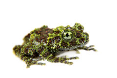 Vietnamese Mossy Frogling isolated on white Royalty Free Stock Photo