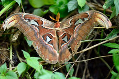 Vietnamese moth. Huge tropical moth with plural wings stock photography