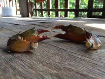 The Vietnamese mud crab, Scylla serrata. Vietnamese mud crab, Scylla serrata stock photography