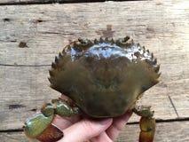 The Vietnamese mud crab, Scylla serrata. Vietnamese mud crab, Scylla serrata stock photos