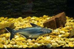 Free Vietnamese Pangasius, Basa Fish Stock Photos - 79417853