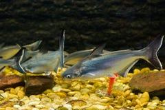 Vietnamese pangasius, Basa fish stock image