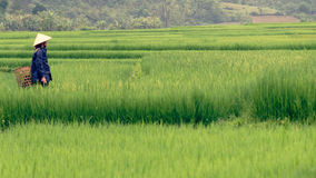 Free Vietnamese Peasant In Rice Fields Royalty Free Stock Photos - 95538808