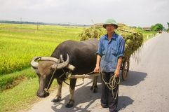 Vietnamese peasant returning harvest Stock Photography