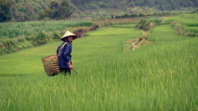 Vietnamese peasant on rice field stock photo