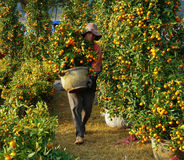 Vietnamese people sale citrus tree at market Stock Photo