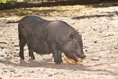 Vietnamese pig Royalty Free Stock Photos