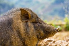 Vietnamese pig Royalty Free Stock Images