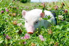 Vietnamese pig, eating grass on a sunny day Royalty Free Stock Photo