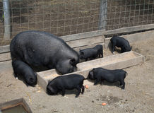Vietnamese pig family at a farm. A family of pot-bellied pigs, eating, at a farm stock photo
