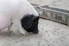 Vietnamese pig are grazed Stock Photos