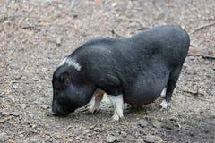 Vietnamese pig are grazed Stock Photo