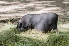Vietnamese pig are grazed Royalty Free Stock Image