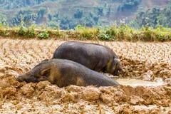 Pig. Vietnamese Pig in the mud stock photos