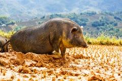 Pig. Vietnamese Pig in the mud stock image
