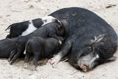 Vietnamese pig with piglets Stock Image