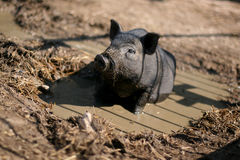 Vietnamese pig in pool. Young vietnamese pig sits in pool Royalty Free Stock Images