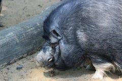 Vietnamese pig Stock Photo