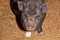 Vietnamese pig Stock Image